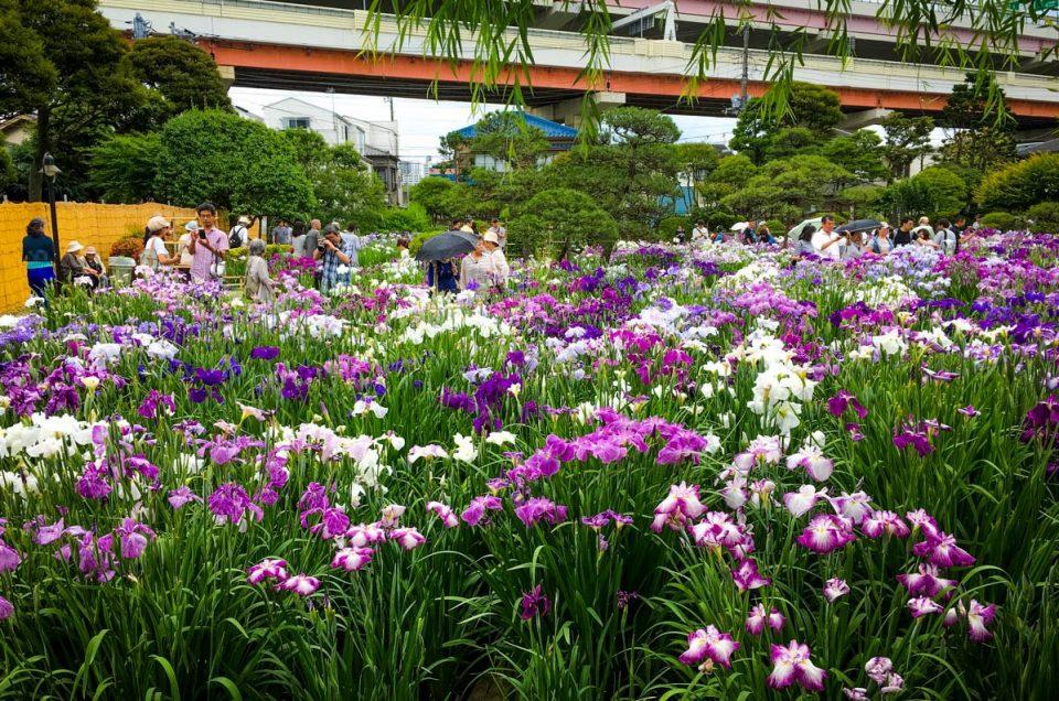 Katsushika Iris Festival