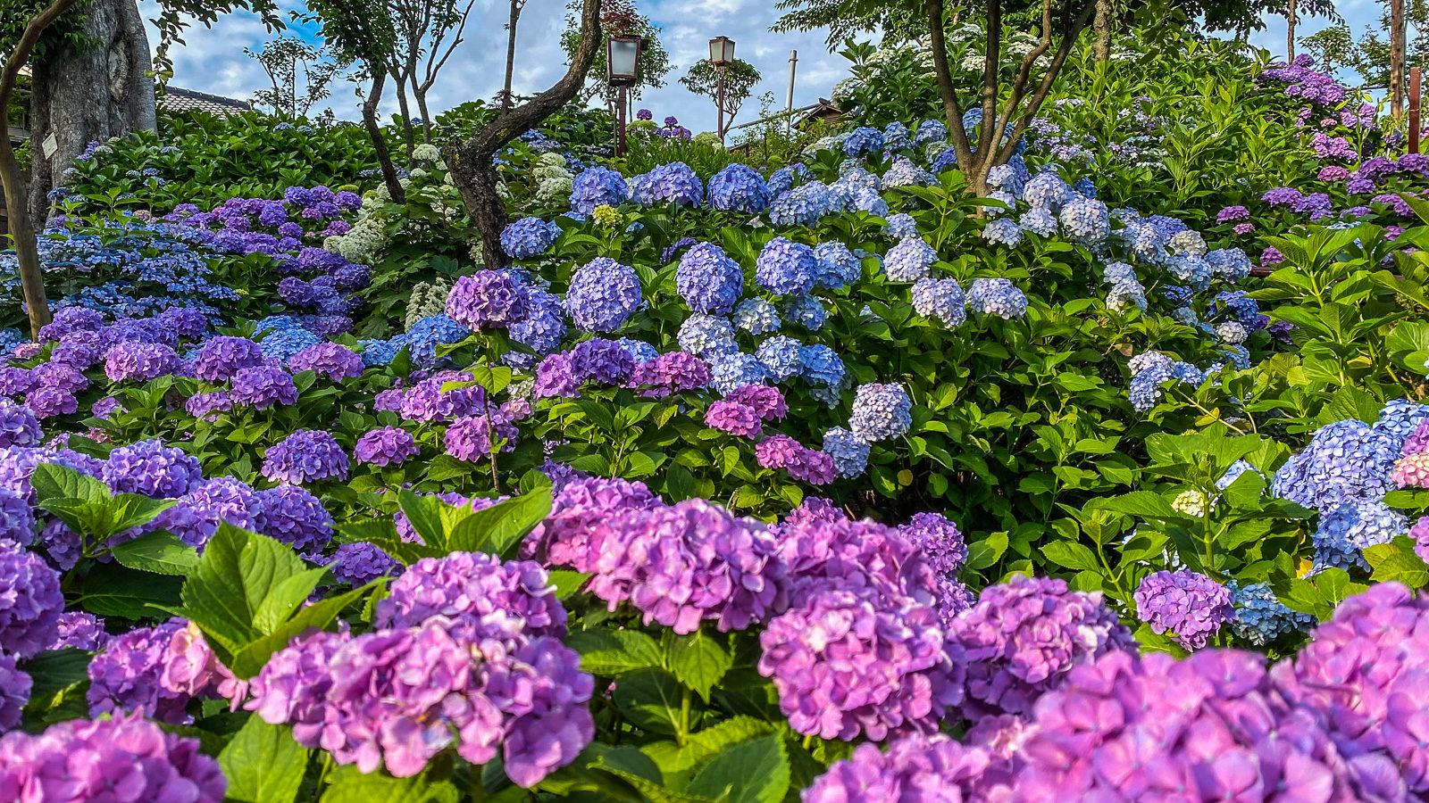 Hakusan Jinja: Hydrangeas in Tokyo